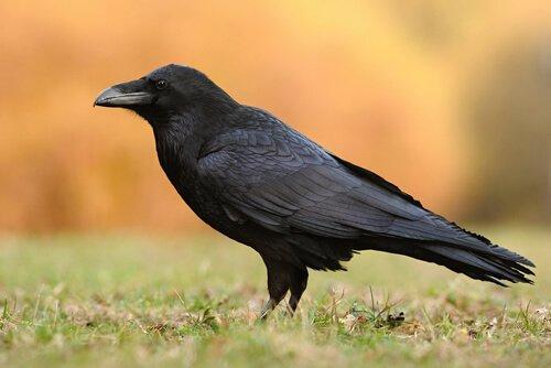 Conosciamo insieme 5 specie di corvo