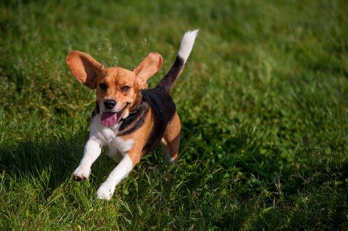Beagle che corre nel prato