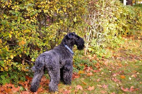 Kerry Blue Terrier nel bosco