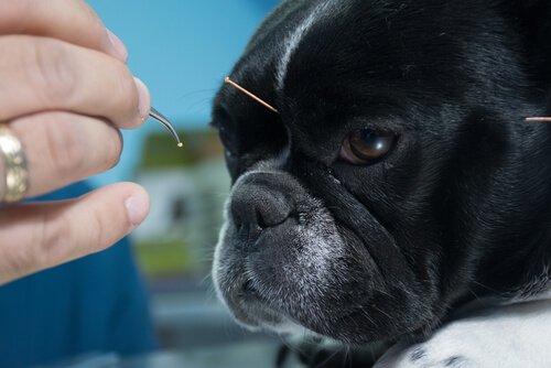 Agopuntura tra medicina alternativa per animali