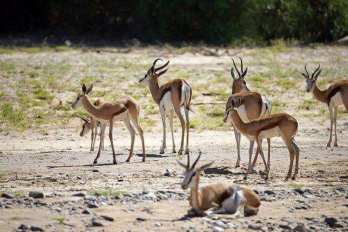 alcune gazzelle di thomson pascolano