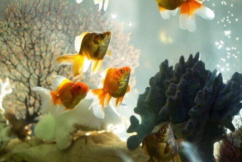 Pesci rossi in un acquario