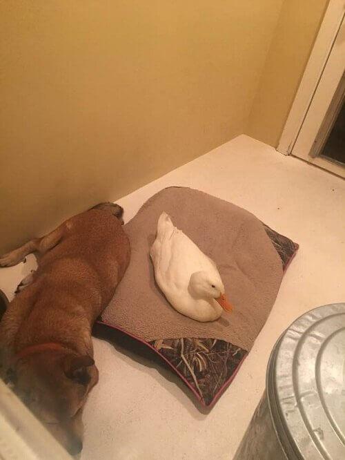 Anatra e cane in casa