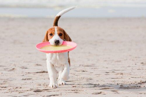 Beagle riporta frisbee rosa al padrone in spiaggia