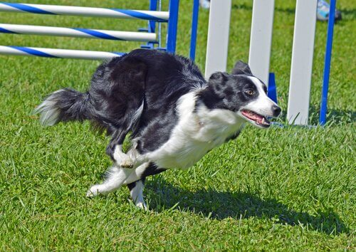 Border collie corre mentre fa agility