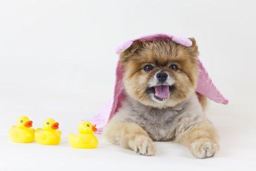 cagnolino con asciugamano rosa in testa e paperelle