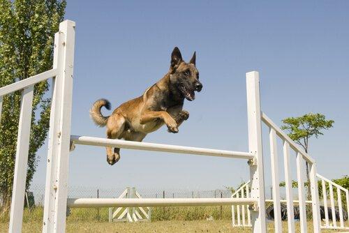 cane che salta ostacolo