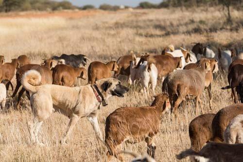 Cane con bestiame