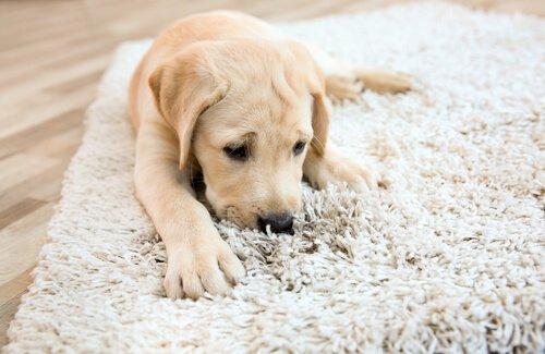 Cane che morde il tappeto