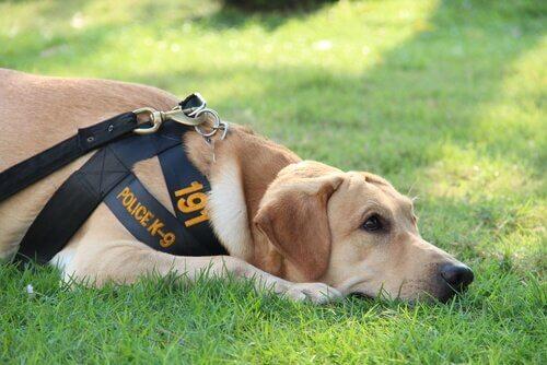 La vita di un cane poliziotto