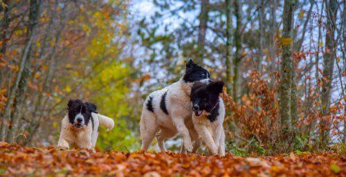 Cani landseer corrono nel bosco