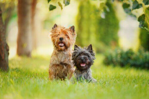 Le caratteristiche più comuni nei cani Terrier