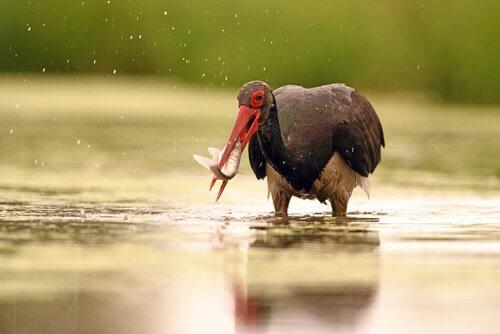 cicogna nera con pesce in bocca
