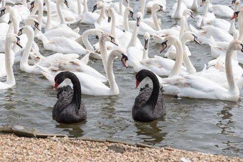 Cigno nero e bianco: differenze