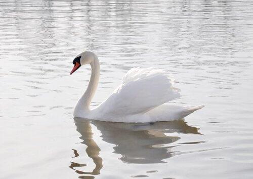Cigno bianco nel lago