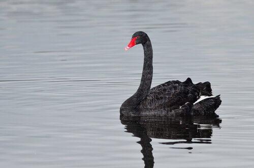 Cigno nero nuota in acqua