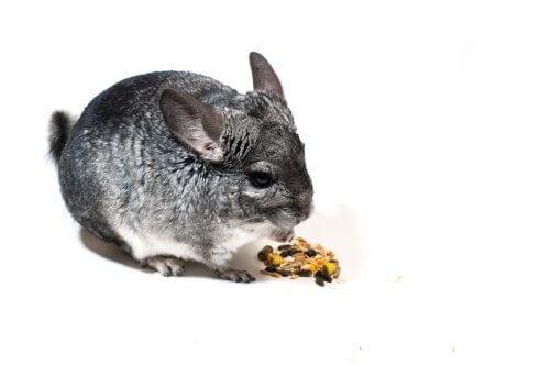 Cincillà che mangia semi
