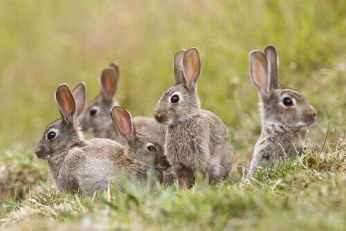 Conigli si guardano attorno in un prato