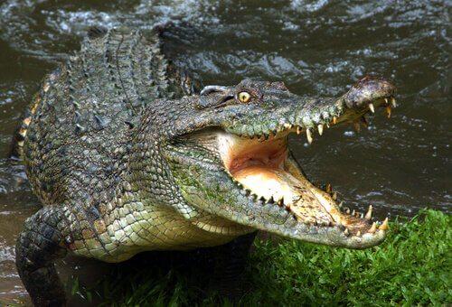 Il pericolo delle acque con coccodrilli