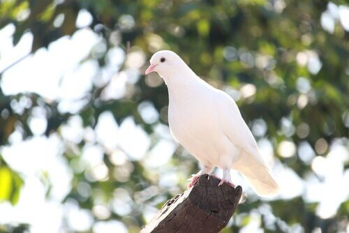 Colomba bianca