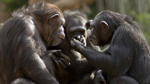Si può parlare con le scimmie?