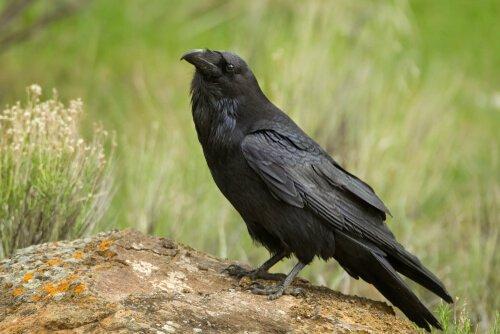 corvo americano su tronco