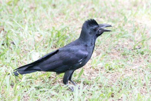 corvo beccogrosso nel prato