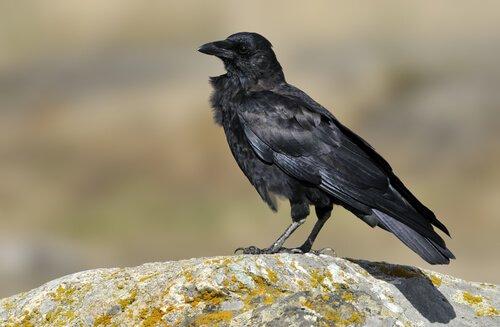 corvo del nordovest su sasso