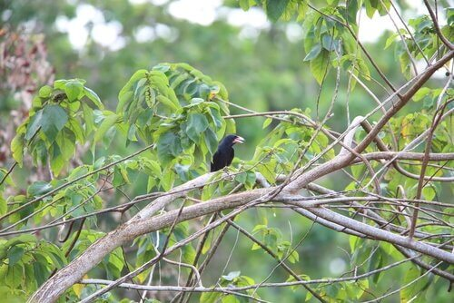 corvus woodfordi su albero