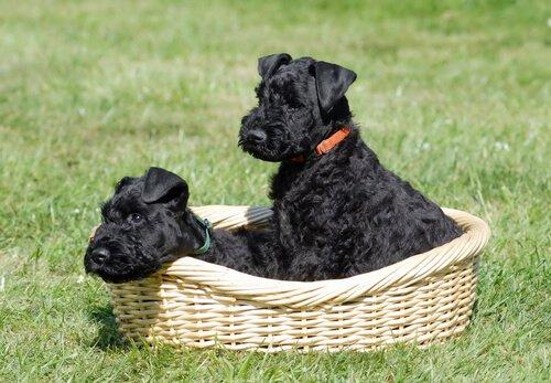 cuccioli di Kerry blue terrier