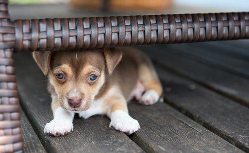 cucciolo di cane si nasconde sotto una poltrona in vimini