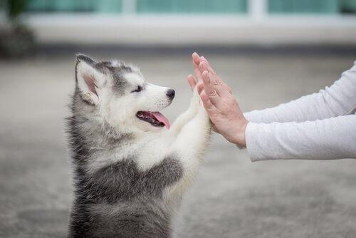 cucciolo di husky appoggia le zampe sulle mani del padrone