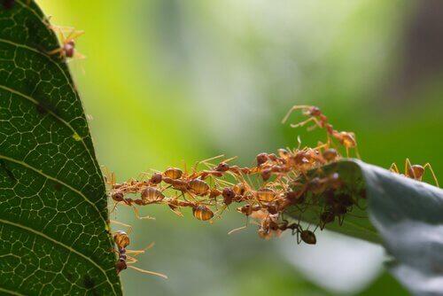 delle formiche creano un ponte per arrivare a una foglia