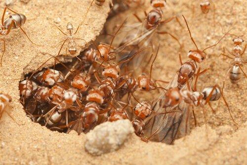 delle formiche di guerra africane all'entrata di un formicaio