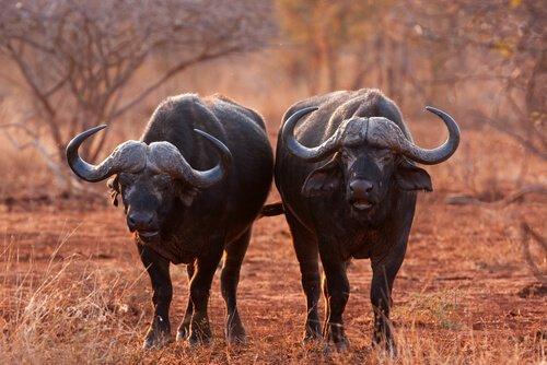 due bufali africani fermi nella savana