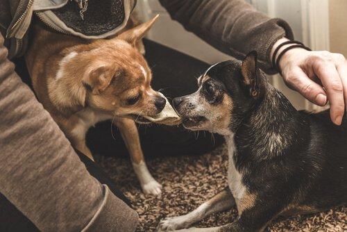 due cagnolini litigano per le coccole del padrone