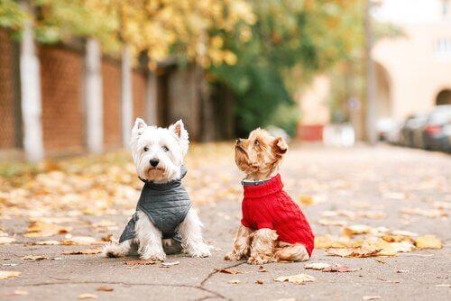 due cagnolino con cappotto al parco