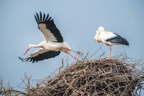 due cicogne su un nido in alto