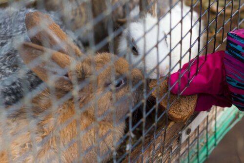 due conigli mangiano del pane secco dalle sbarre di una gabbia