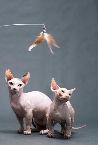 due esemplari di Gatto bambino in posa per la foto