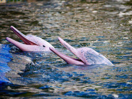 Inia, il curioso delfino rosa delle Amazzoni