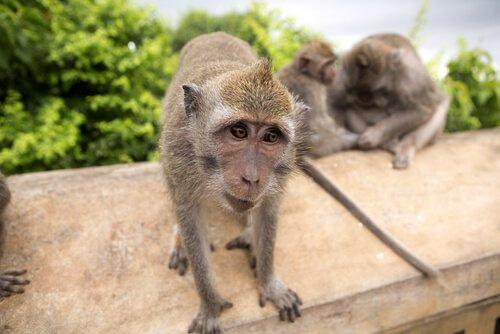 due esemplari di Macaco cinomolgo attirati dai turisti