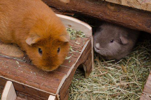 due cavie nella gabbia