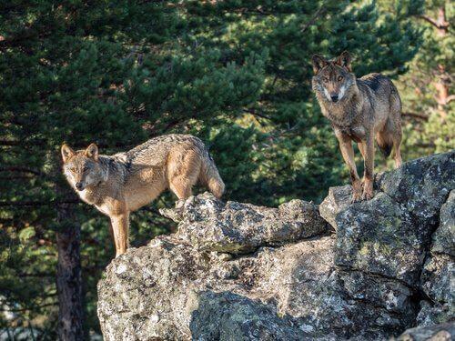 Due lupi su una roccia in montagna