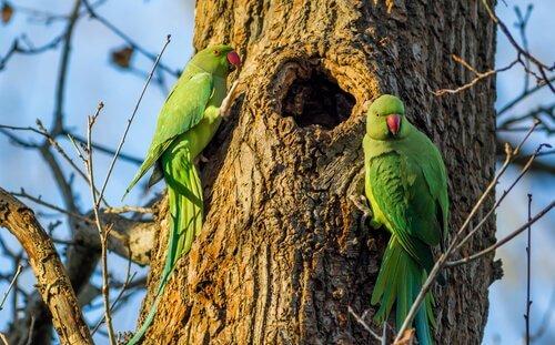 Parrocchetti verdi vicino a un nido