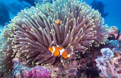 due pesci pagliaccio con un anemone