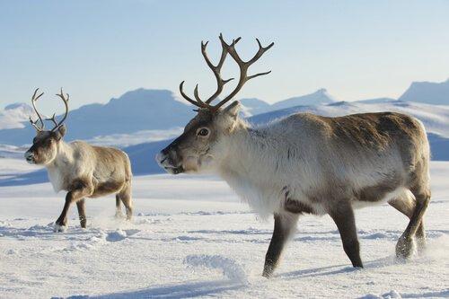 due renne nelle neve di profilo con la pelliccia folta
