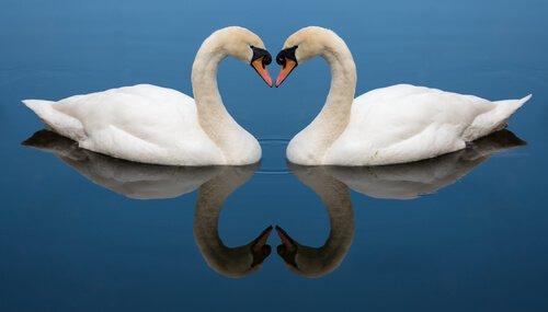 due cigni uniti formano un cuore con i loro colli