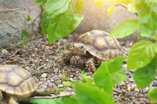 due tartarughe africane riposano tra le foglie