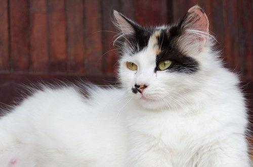 gatta incinta bianca con macchie nere e marroni sul muso